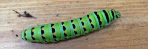 Black Swallowtail catterpillar - about 2 inches long