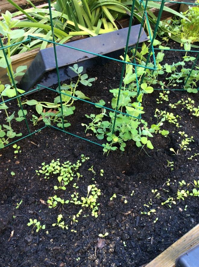 nap peas, snow peas, and mesclun