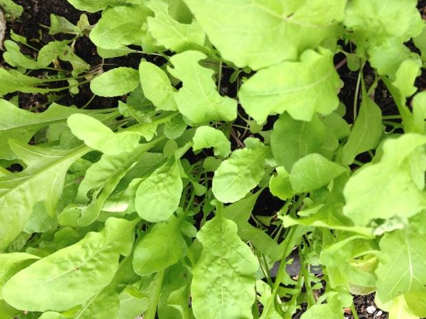 November in the garden – salad greens, broccoli, peas, carrots,artichokes